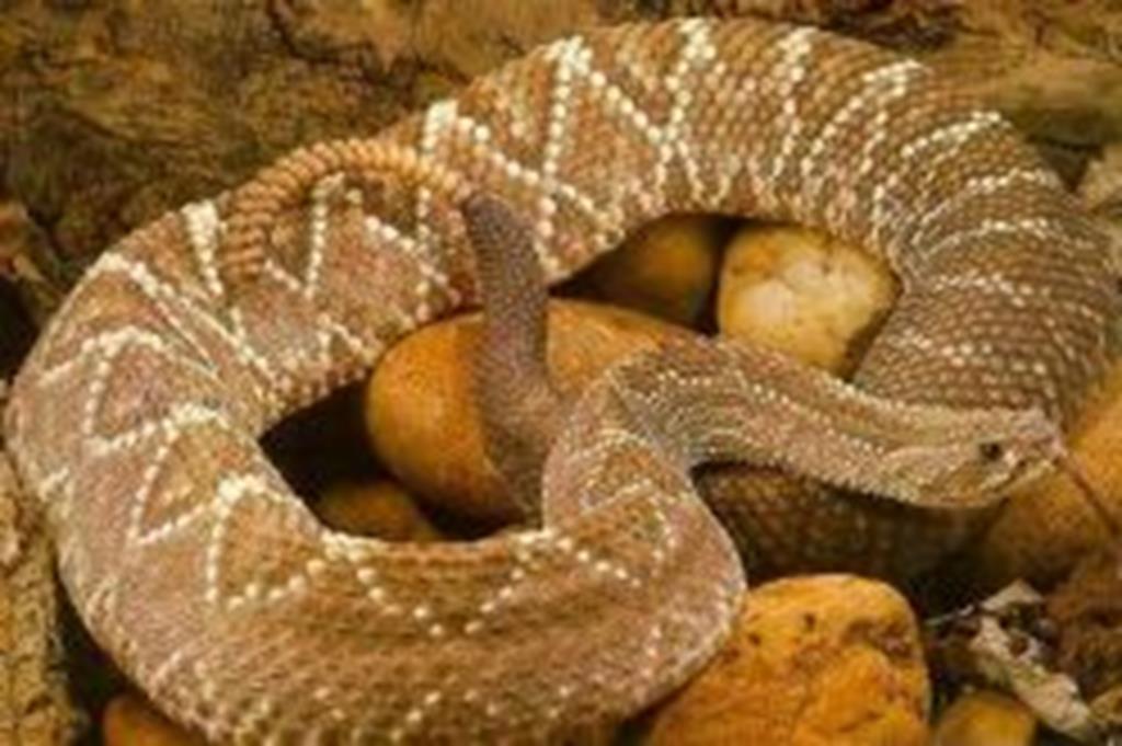 Secretaria Municipal de Saúde alerta para o risco de acidentes com cobras
