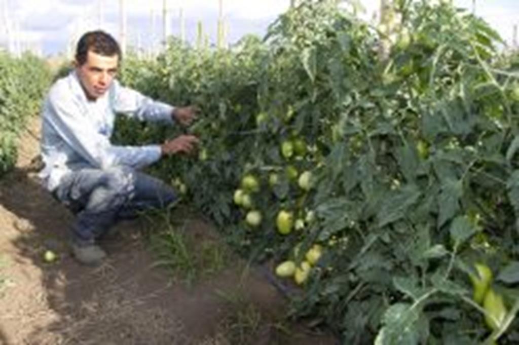Técnico agrícola troca a Bahia por Campo Verde e aposta na produção de tomates