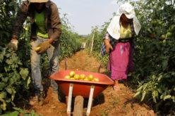 Agricultura familiar desenvolvida em Campo Verde é considerada modelo