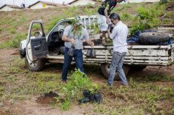Viveiro Municipal de Campo Verde distribuiu 7,8 mil mudas em 2019